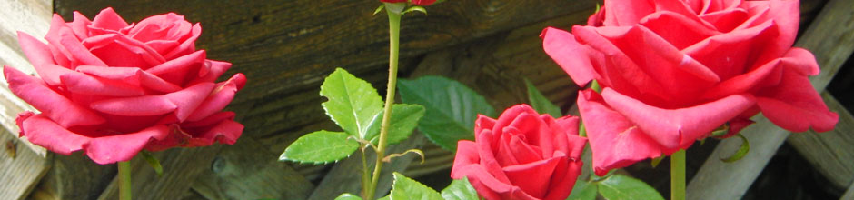 roses-940